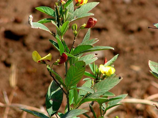 Pigeonpea (Cajanus Cajan) https://www.sagebud.com/pigeonpea-cajanus-cajan