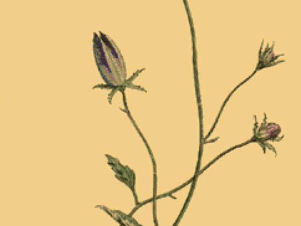Tussock Bellflower (Campanula Carpatica) https://www.sagebud.com/tussock-bellflower-campanula-carpatica/
