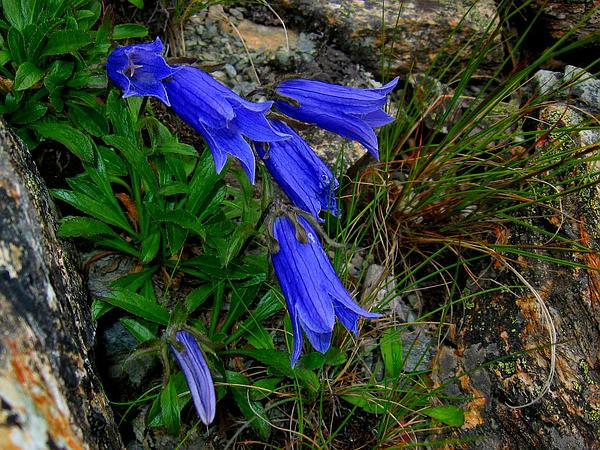Hairyflower Bellflower (Campanula Chamissonis) https://www.sagebud.com/hairyflower-bellflower-campanula-chamissonis