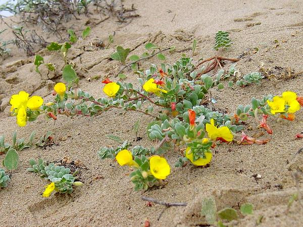 Beach Suncup (Camissonia Cheiranthifolia) https://www.sagebud.com/beach-suncup-camissonia-cheiranthifolia