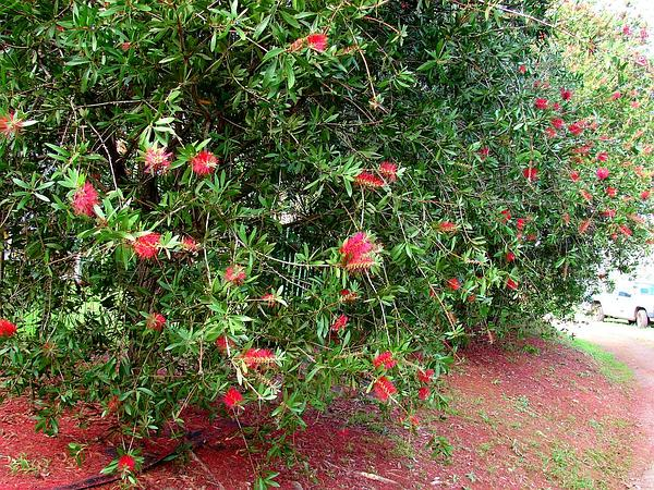 Crimson Bottlebrush (Callistemon Citrinus) https://www.sagebud.com/crimson-bottlebrush-callistemon-citrinus/