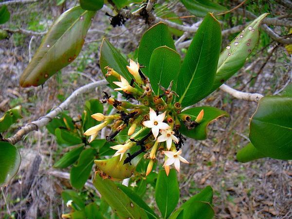 Sevenyear Apple (Casasia Clusiifolia) https://www.sagebud.com/sevenyear-apple-casasia-clusiifolia/