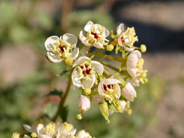 Browneyes (Camissonia Claviformis) https://www.sagebud.com/browneyes-camissonia-claviformis