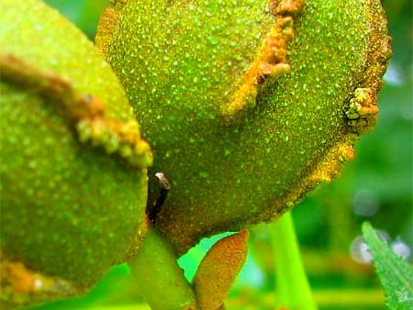 Bitternut Hickory (Carya Cordiformis) https://www.sagebud.com/bitternut-hickory-carya-cordiformis