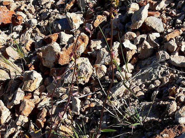 Cooper's Wild Cabbage (Caulanthus Cooperi) https://www.sagebud.com/coopers-wild-cabbage-caulanthus-cooperi