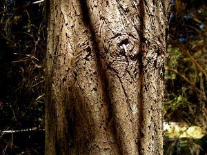White Cypress-Pine