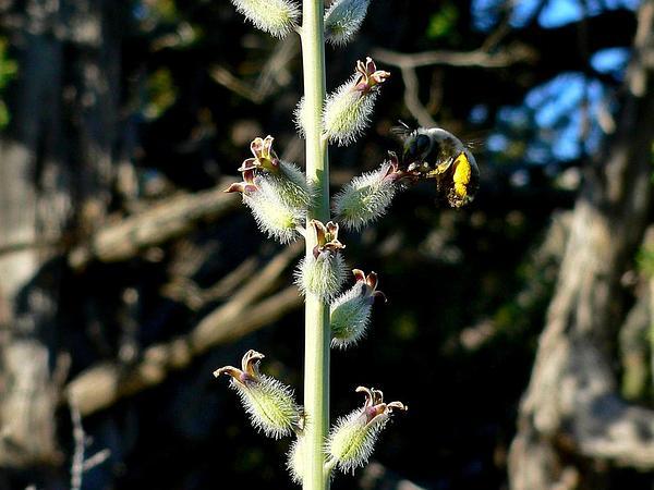 Thickstem Wild Cabbage (Caulanthus Crassicaulis) https://www.sagebud.com/thickstem-wild-cabbage-caulanthus-crassicaulis