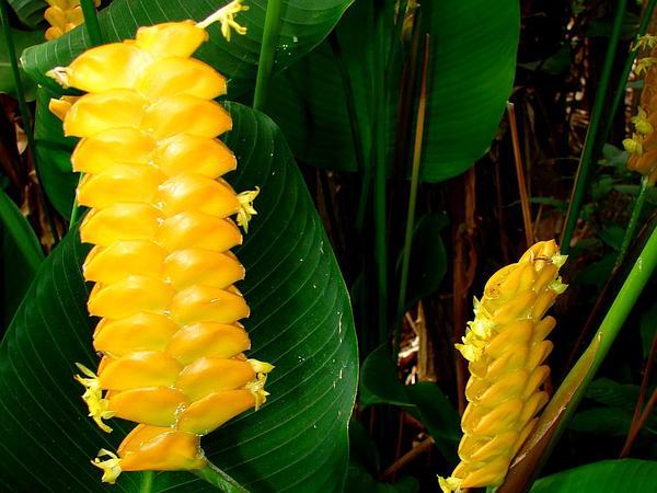 Rattlesnake Plant (Calathea Crotalifera) https://www.sagebud.com/rattlesnake-plant-calathea-crotalifera