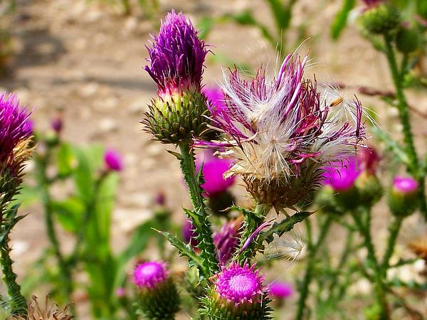 Curly Plumeless Thistle (Carduus Crispus) https://www.sagebud.com/curly-plumeless-thistle-carduus-crispus