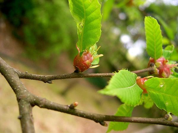 Japanese Chestnut (Castanea Crenata) https://www.sagebud.com/japanese-chestnut-castanea-crenata
