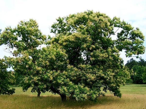 American Chestnut (Castanea Dentata) https://www.sagebud.com/american-chestnut-castanea-dentata