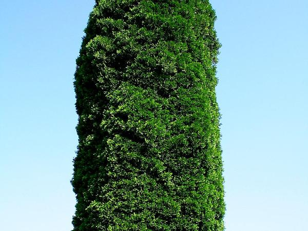 Incense Cedar (Calocedrus Decurrens) https://www.sagebud.com/incense-cedar-calocedrus-decurrens/