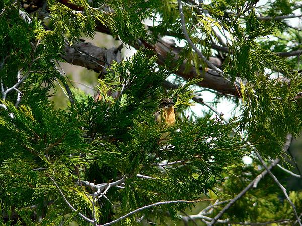 Incense Cedar (Calocedrus Decurrens) https://www.sagebud.com/incense-cedar-calocedrus-decurrens