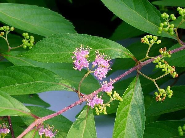 Purple Beautyberry (Callicarpa Dichotoma) https://www.sagebud.com/purple-beautyberry-callicarpa-dichotoma