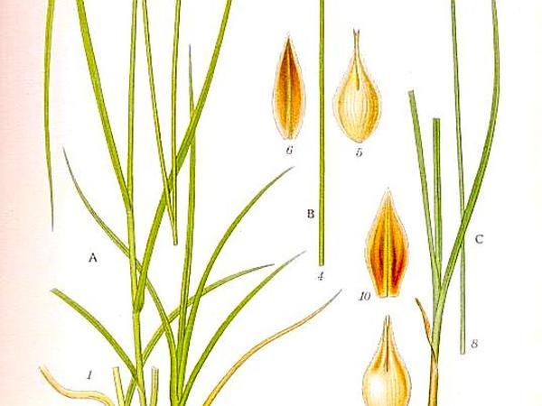 Tworank Sedge (Carex Disticha) https://www.sagebud.com/tworank-sedge-carex-disticha