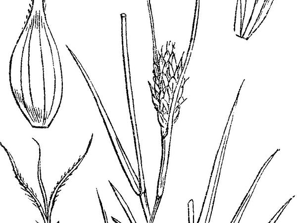 Distant Sedge (Carex Distans) https://www.sagebud.com/distant-sedge-carex-distans
