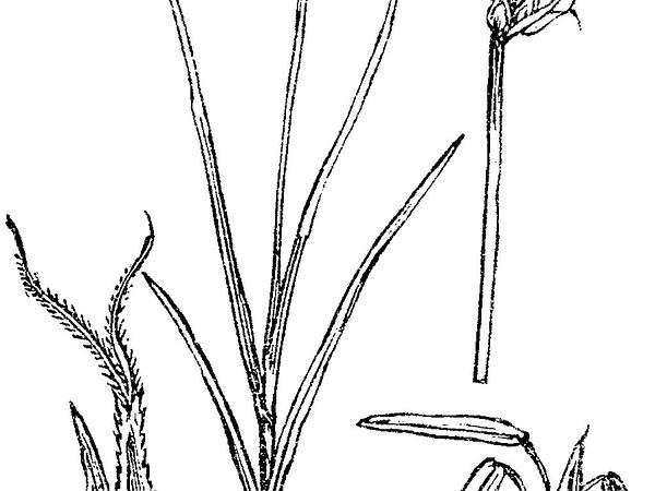 Star Sedge (Carex Echinata) https://www.sagebud.com/star-sedge-carex-echinata/