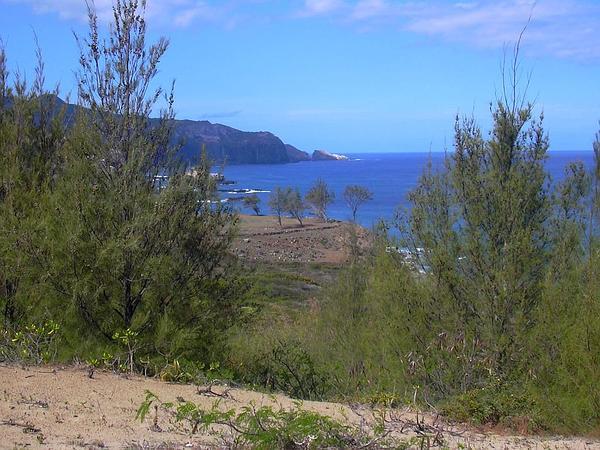 Beach Sheoak (Casuarina Equisetifolia) https://www.sagebud.com/beach-sheoak-casuarina-equisetifolia