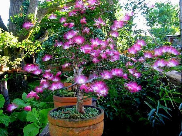 Fairyduster (Calliandra Eriophylla) https://www.sagebud.com/fairyduster-calliandra-eriophylla