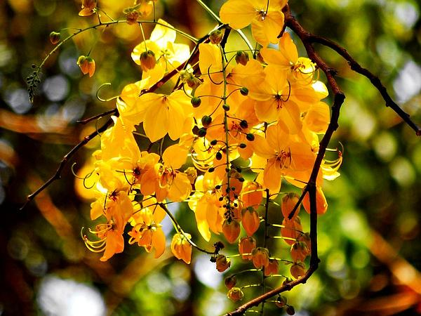 Golden Shower (Cassia Fistula) https://www.sagebud.com/golden-shower-cassia-fistula