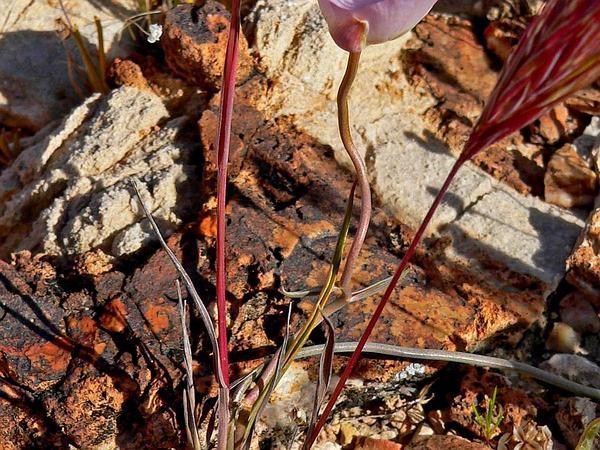 Winding Mariposa Lily (Calochortus Flexuosus) https://www.sagebud.com/winding-mariposa-lily-calochortus-flexuosus