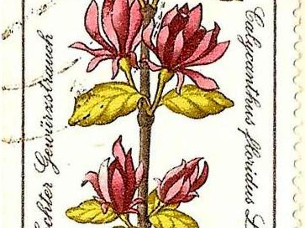 Eastern Sweetshrub (Calycanthus Floridus) https://www.sagebud.com/eastern-sweetshrub-calycanthus-floridus