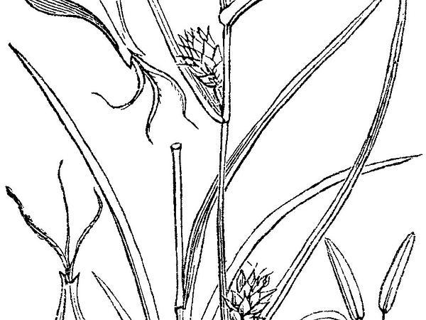 Yellow Sedge (Carex Flava) https://www.sagebud.com/yellow-sedge-carex-flava/