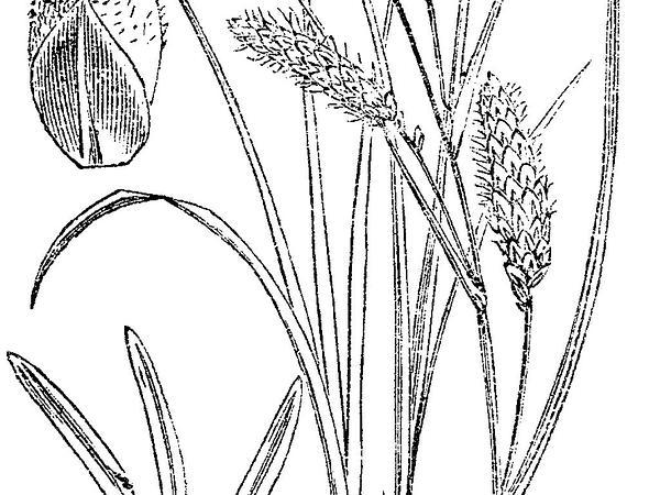 Heath Sedge (Carex Flacca) https://www.sagebud.com/heath-sedge-carex-flacca