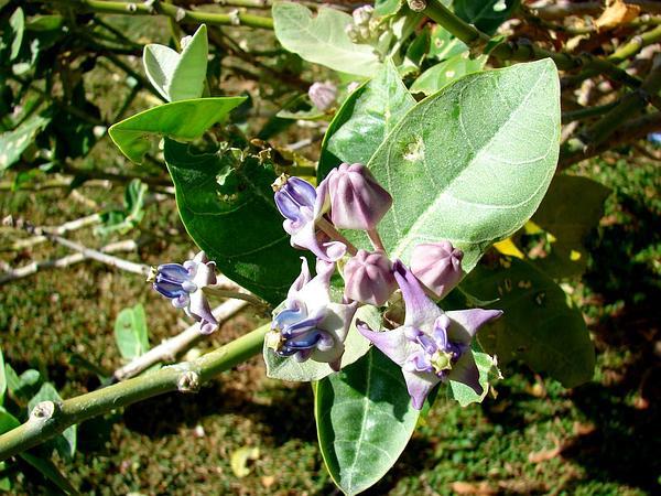 Giant Milkweed (Calotropis Gigantea) https://www.sagebud.com/giant-milkweed-calotropis-gigantea