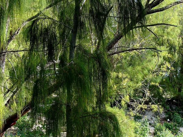 Gray Sheoak (Casuarina Glauca) https://www.sagebud.com/gray-sheoak-casuarina-glauca