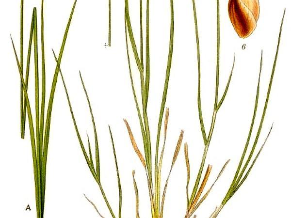 Lesser Saltmarsh Sedge (Carex Glareosa) https://www.sagebud.com/lesser-saltmarsh-sedge-carex-glareosa