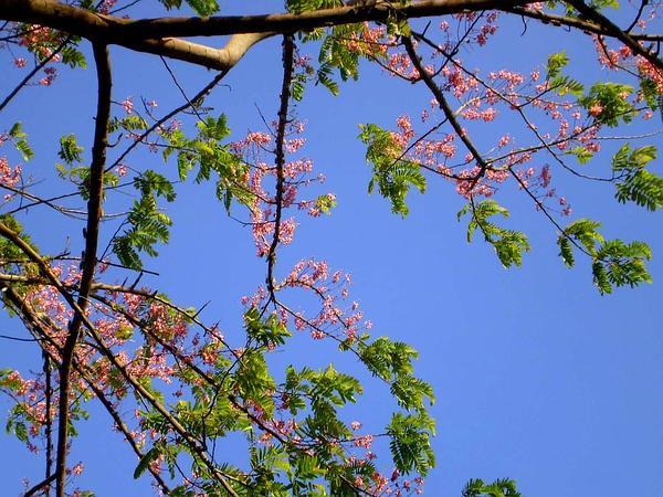 Pink Shower (Cassia Grandis) https://www.sagebud.com/pink-shower-cassia-grandis/
