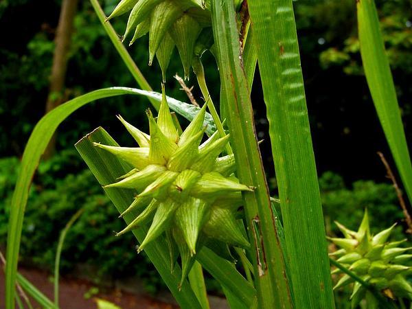 Gray's Sedge (Carex Grayi) https://www.sagebud.com/grays-sedge-carex-grayi/