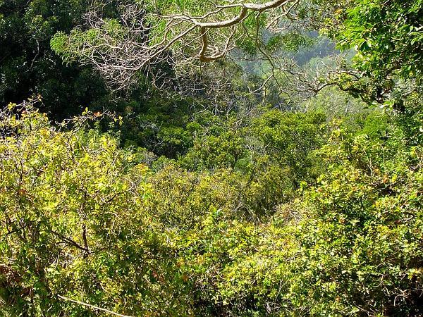 Puakauhi (Canavalia Hawaiiensis) https://www.sagebud.com/puakauhi-canavalia-hawaiiensis