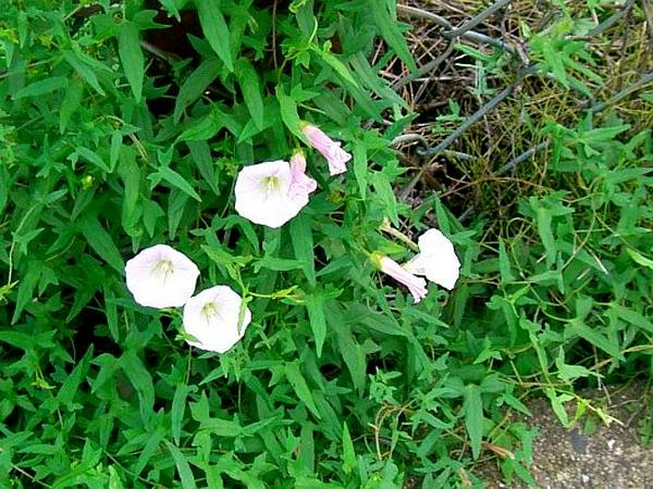 Japanese False Bindweed (Calystegia Hederacea) https://www.sagebud.com/japanese-false-bindweed-calystegia-hederacea/