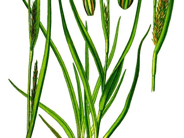 Hammer Sedge (Carex Hirta) https://www.sagebud.com/hammer-sedge-carex-hirta