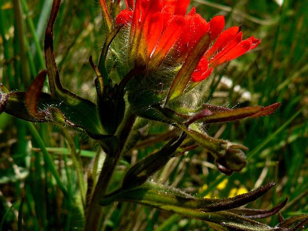 Harsh Indian Paintbrush (Castilleja Hispida) https://www.sagebud.com/harsh-indian-paintbrush-castilleja-hispida