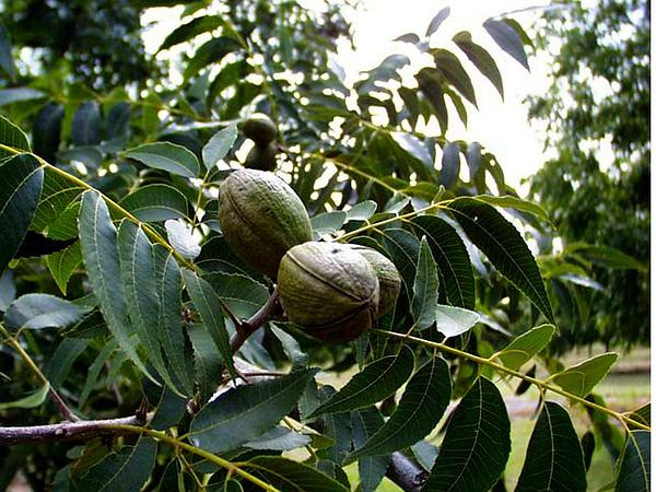 Pecan (Carya Illinoinensis) https://www.sagebud.com/pecan-carya-illinoinensis