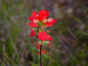 Entireleaf Indian Paintbrush