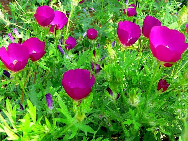 Purple Poppymallow (Callirhoe Involucrata) https://www.sagebud.com/purple-poppymallow-callirhoe-involucrata