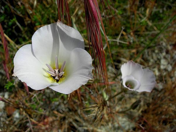 Plain Mariposa Lily (Calochortus Invenustus) https://www.sagebud.com/plain-mariposa-lily-calochortus-invenustus