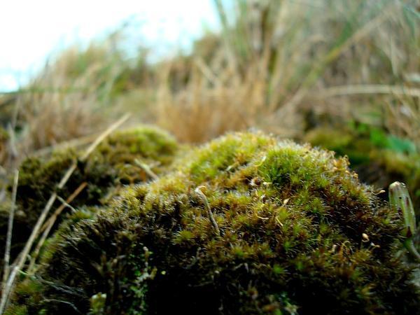 Campylopus Moss (Campylopus Introflexus) https://www.sagebud.com/campylopus-moss-campylopus-introflexus