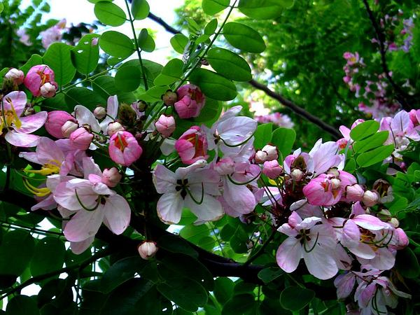 Apple Blossom (Cassia Javanica) https://www.sagebud.com/apple-blossom-cassia-javanica/