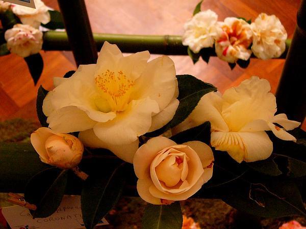 Camellia (Camellia Japonica) https://www.sagebud.com/camellia-camellia-japonica