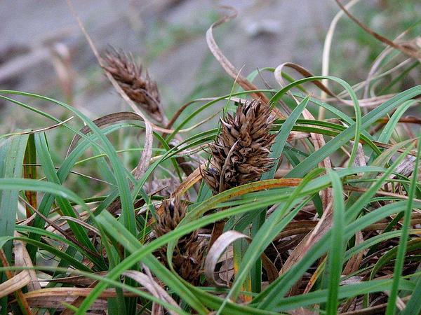 Japanese Sedge (Carex Kobomugi) https://www.sagebud.com/japanese-sedge-carex-kobomugi