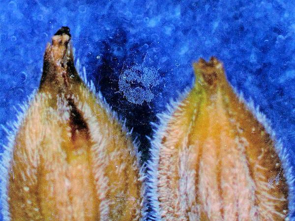 Woollyfruit Sedge (Carex Lasiocarpa) https://www.sagebud.com/woollyfruit-sedge-carex-lasiocarpa