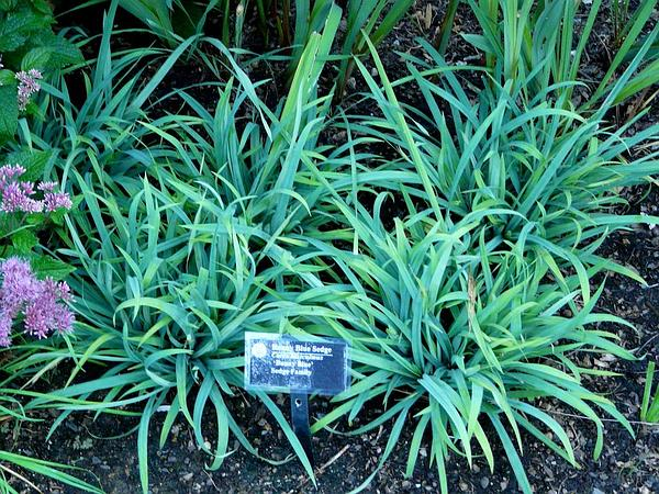 Spreading Sedge (Carex Laxiculmis) https://www.sagebud.com/spreading-sedge-carex-laxiculmis/