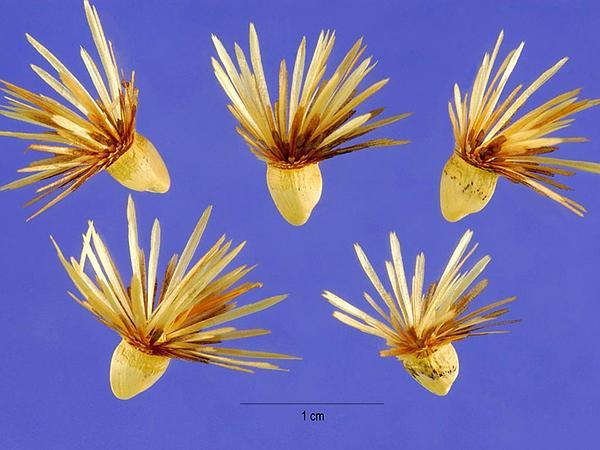 Woolly Distaff Thistle (Carthamus Lanatus) https://www.sagebud.com/woolly-distaff-thistle-carthamus-lanatus