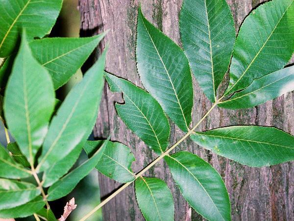 Shellbark Hickory (Carya Laciniosa) https://www.sagebud.com/shellbark-hickory-carya-laciniosa