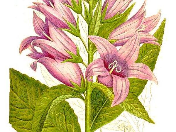 Giant Bellflower (Campanula Latifolia) https://www.sagebud.com/giant-bellflower-campanula-latifolia
